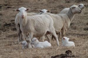 jl-sheep