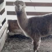 Alpaca Meat Processing, Harrisonburg VA